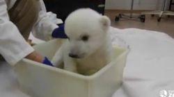 Le premier bain d'un ourson polaire