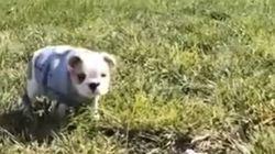 Ce bébé bouledogue fait des roulades sur les collines