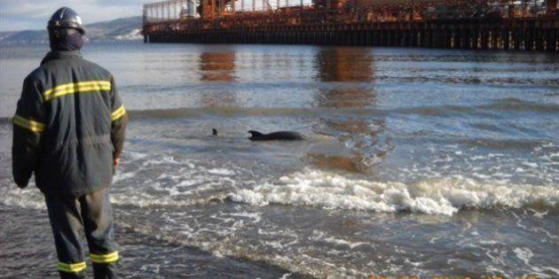 Baie des Ha! Ha!: un dauphin s'échoue sur les rives du