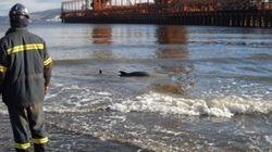 Un dauphin s'échoue sur les rives du