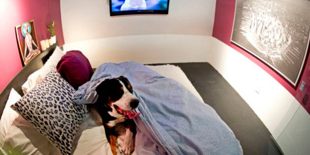 Atlas relaxes in the bed of one of the suites at D Pet Hotel Chelsea August 17, 2012 in New York. A true...