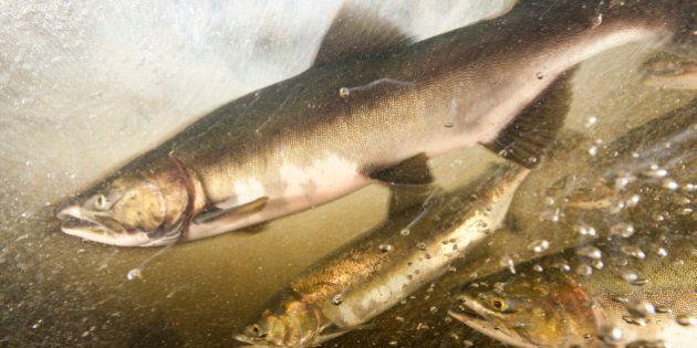 Des groupes contestent en cour la production d'oeufs de saumons