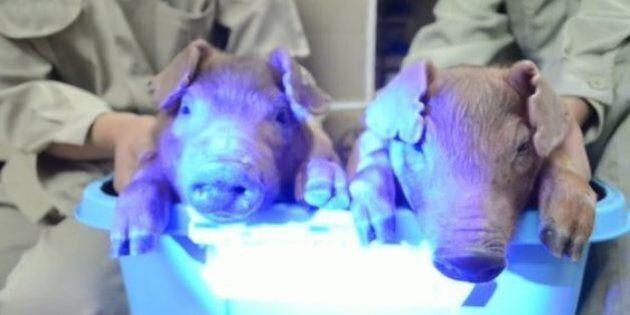 Des cochons transgéniques phosphorescents en