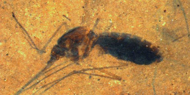 Le fossile d'un moustique encore gorgé de sang d'il y a 46 millions dannées est