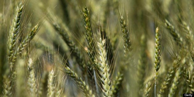 Wheat grows in a test field at Oregon State University (OSU) in Corvallis, Oregon, U.S., Friday, June...