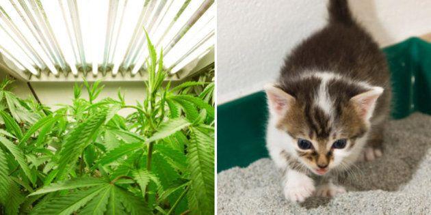 Santé Canada conseille de masquer l'odeur de la marijuana médicale avec de la
