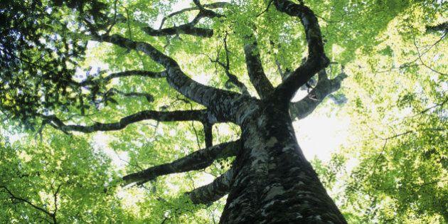 Plus les arbre sont vieux, plus ils absorbent du