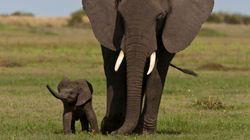 Baisse alarmante du nombre d'éléphants en