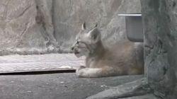 Trois nouveaux bébés lynx au Biodôme de Montréal