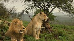 La disparition des grands carnivores menace l'écosystème de la