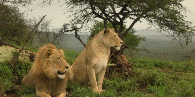 south africa the lion is