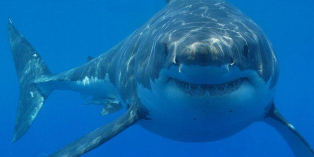Les grands requins blancs pourraient vivre plus de 70 ans selon une