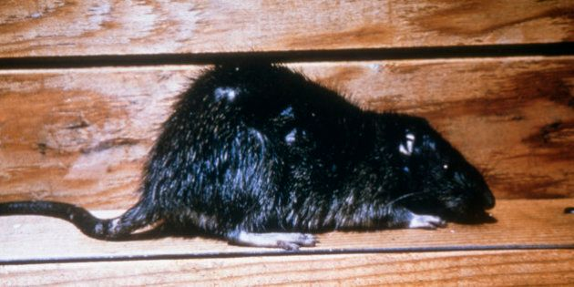 Brown Rat This Is An Image Of A Norway Rat, Rattus Norvegicus, Also Known As The Brown Rat, House Rat,...