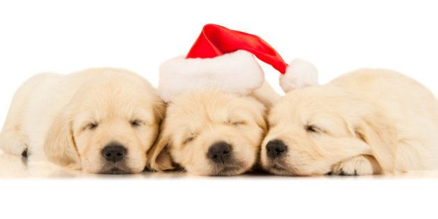 three retriever puppies in
