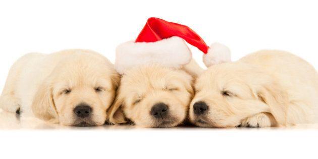 three retriever puppies in a...