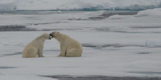 Google ajoute des ours polaires à sa cartographie en