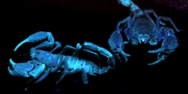 A pair of Asian Black Forest Scorpions glow under ultra-violet light in their enclosure at the Night...