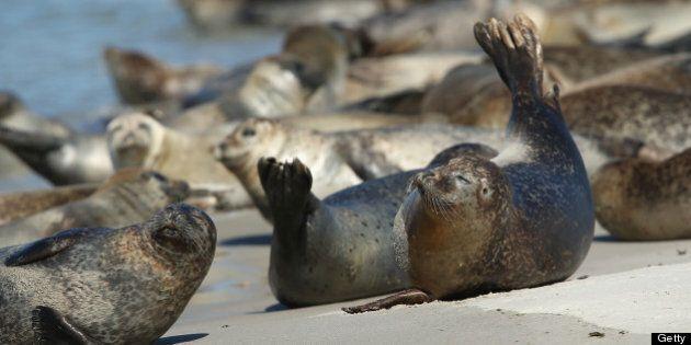 HELGOLAND, GERMANY - AUGUST 04: Atlantic grey seals (Halichoerus grypus - in German: Kegelrobben) bask...