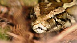50 pythons illégaux découverts dans une demeure en