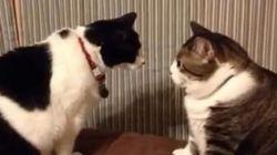 Deux chats se lancent dans un concours de regard: qui va gagner ?