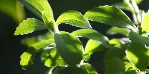 KUMILY, INDIA - JANUARY 04: Leaves of a stevia plant (stevia rebaudiana), a natural healthy sweetener...