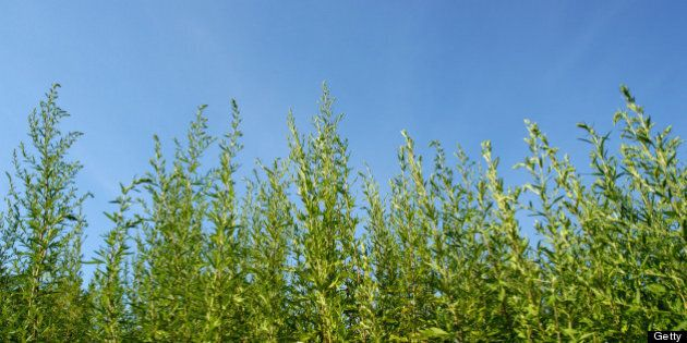 Common ragweed plants (Ambrosia artemisiifolia) against blue sky. The pollen from ragweed is highly allergenic...