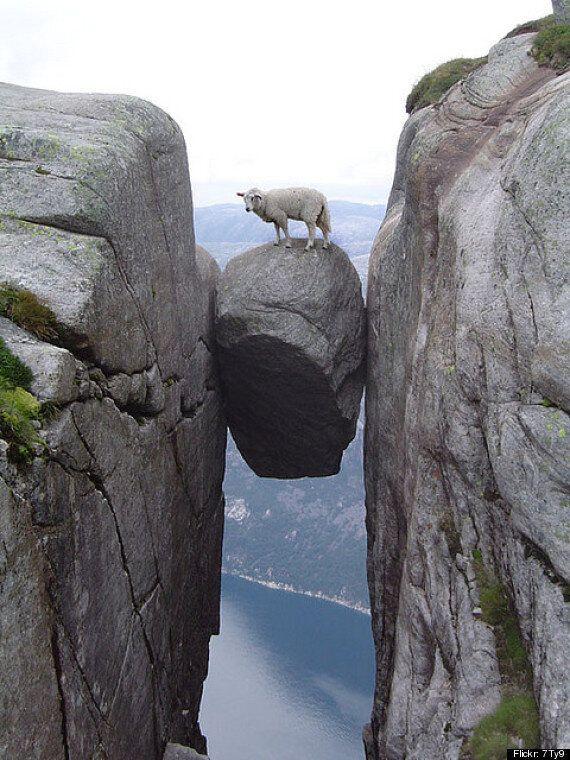Le mouton sur ce rocher réalise à quel point il frôle la mort