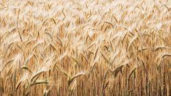 Comment le blé nous rend
