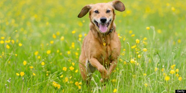 Happy brown dog in a summertime meadow of buttercups