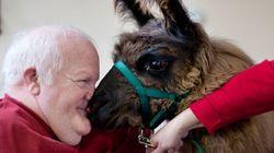 Ces lamas accompagnent des malades du 3e