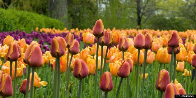 mixed tulips   ottawafestival