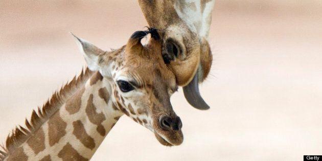 Adorables bébés animaux et leur mère: 50 petits et leur maman!