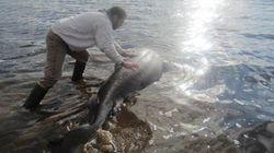 Un requin s'étouffe avec un orignal
