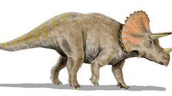 Un étrange cousin du Triceratops