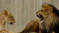 Un lion tue une lionne sous les yeux des visiteurs d'un