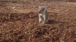 La touchante photo d'un koala désorienté après que son habitat eut été détruit