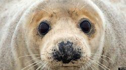 Un jeune bébé phoque est secouru à Long