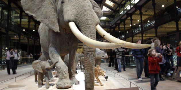 Un homme sectionne une défense d'éléphant à la tronçonneuse au Muséum national d'histoire naturelle de