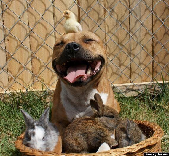 La photo d'un pitbull entouré de lapins et d'un poussin devient