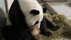 Naissance de deux pandas géants, une espèce en voie de disparition