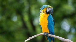 Les perroquets, plus intelligents qu'on le croit