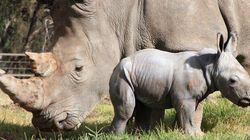 Naissance d'un rhinocéros blanc dans un zoo