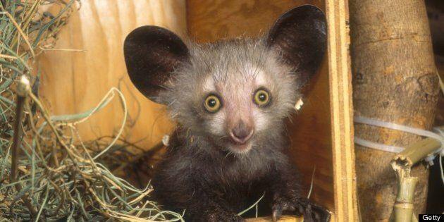 Aye-aye (Daubentonia madagascariensis) in nestbox, Duke University Primate