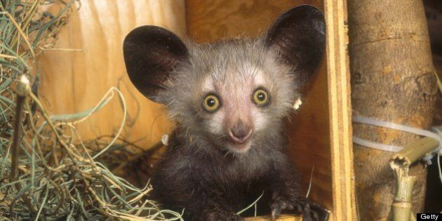 Aye-aye (Daubentonia madagascariensis) in nestbox, Duke University Primate Center