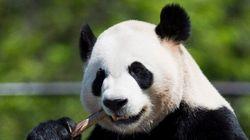 Premières images des grands pandas