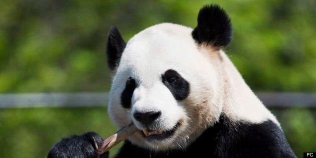 Zoo de Toronto: premières images des grands pandas