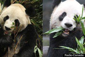 Deux pandas en route vers