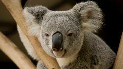 Le koala australien menacé de