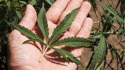 Santé Canada supervisera un nouveau programme de marijuana