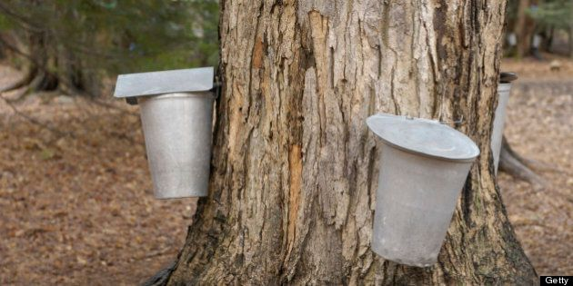 Metal buckets attached to a tap in a sugar maple, collecting maple sap to make maple syrup, Ontario,